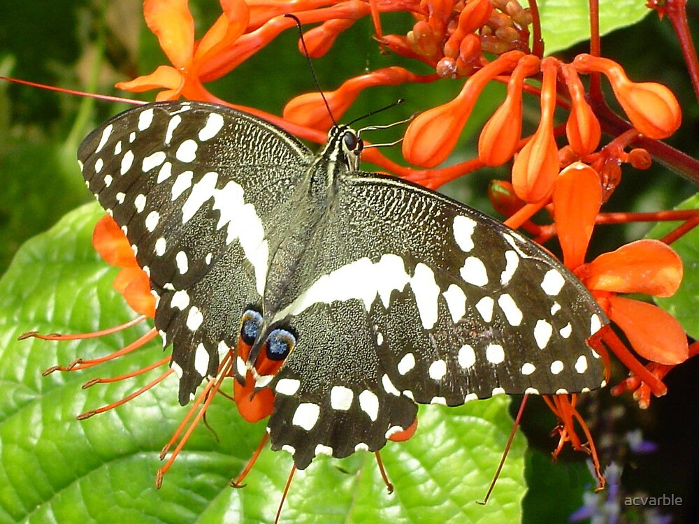 Beautiful Butterfly by acvarble