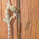 Gecko walking over a piece of wood by trarbach