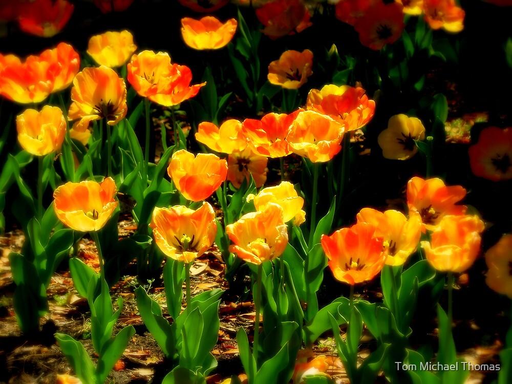 Tulips Rising by Tom Michael Thomas