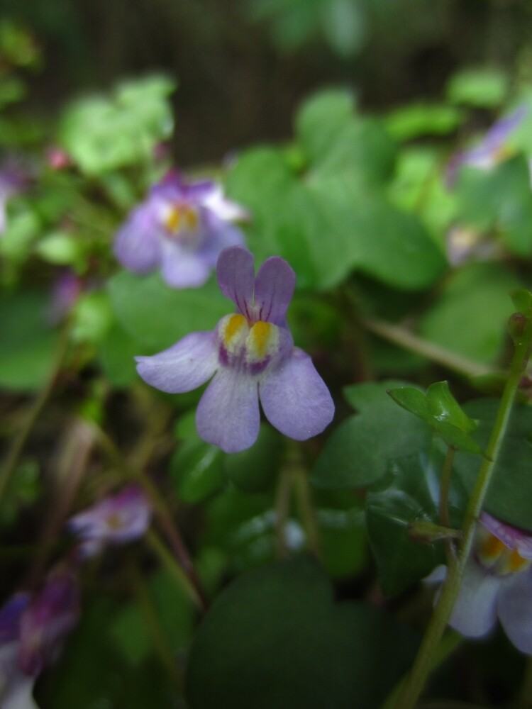 Ivy-leaved toadflax by IOMWildFlowers