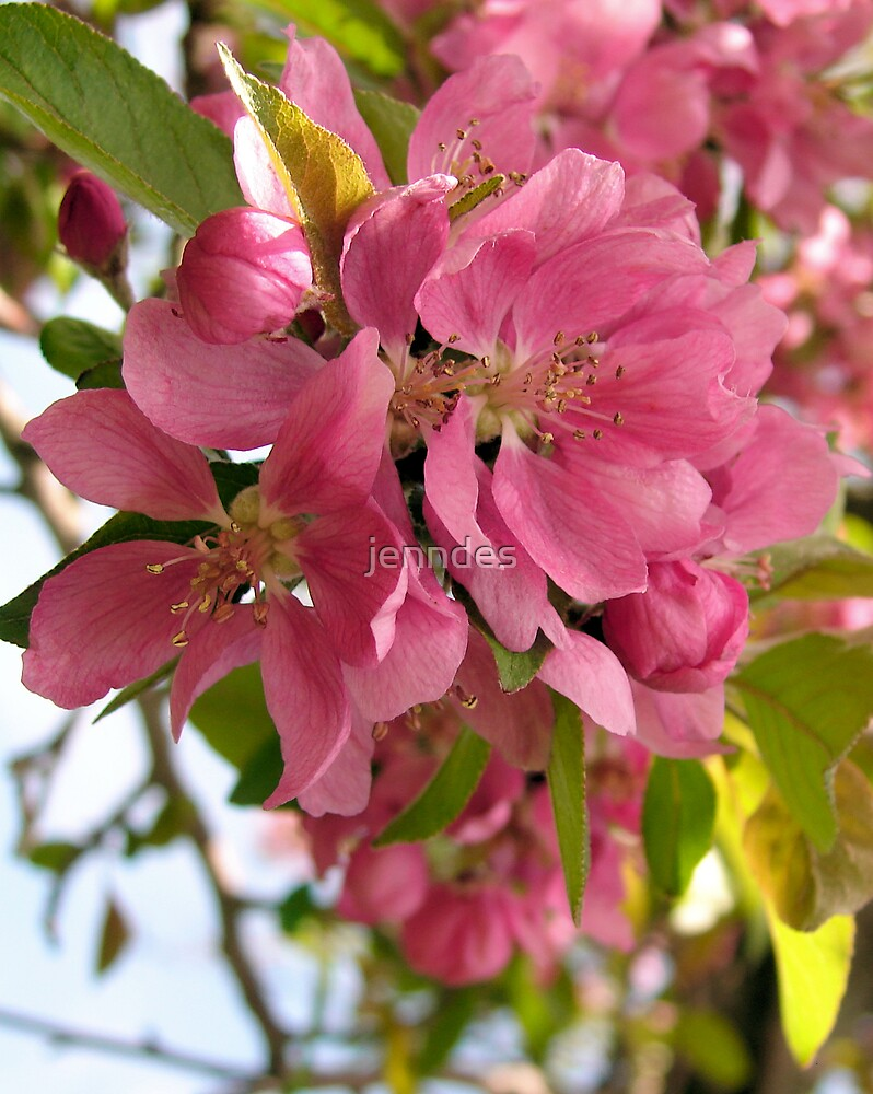 Pink Apple Blossoms by jenndes