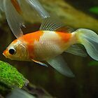 White and Orange Goldfish AJ Leith Park 20170216 0977  by Fred Mitchell