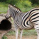 Zebra by BevB
