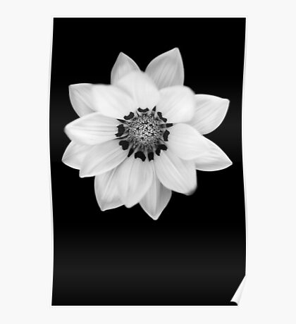 Black and White Gazania [Print and iPhone / iPad / iPod Case] Poster