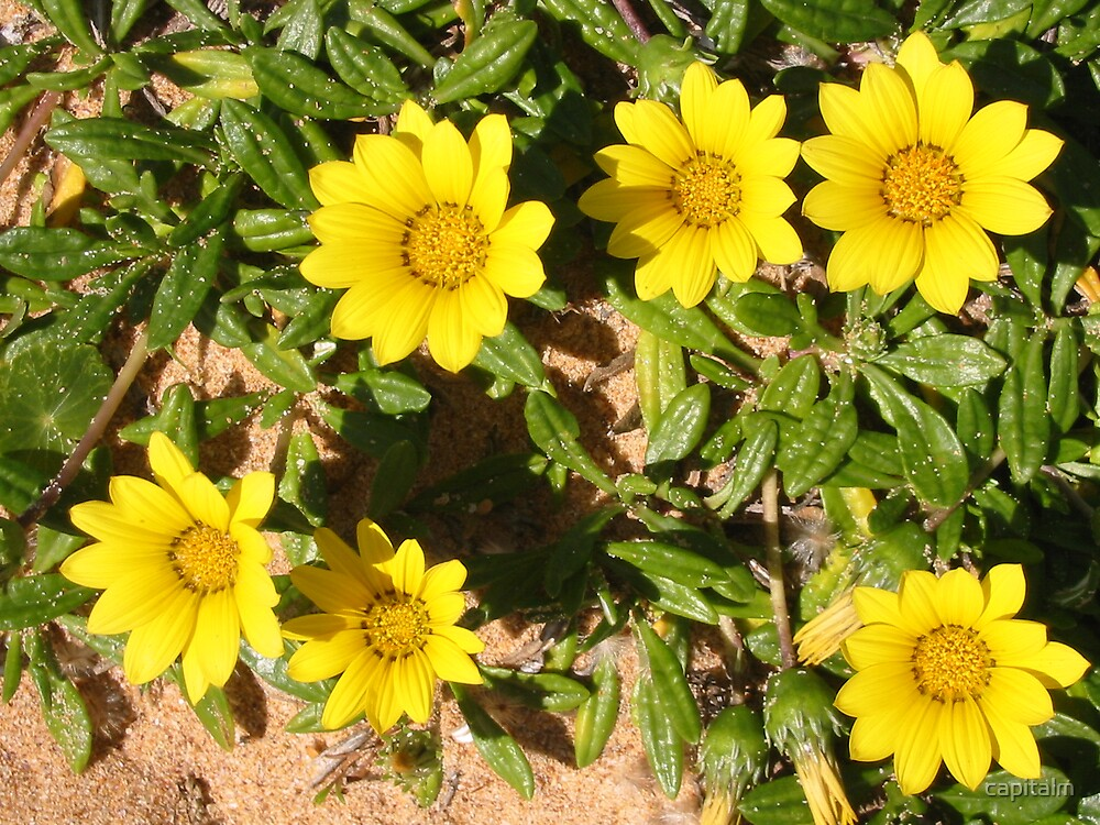 yellow flowers by capitalm