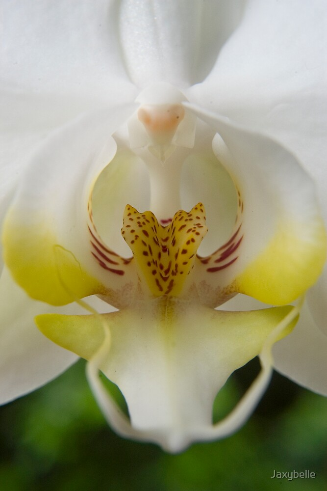 White  Moth Orchid 10 by Jaxybelle