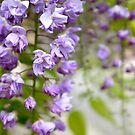 wisteria wondering by sapaho