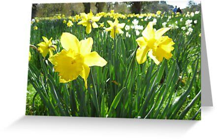 Daffodils by Stephen  Shelley