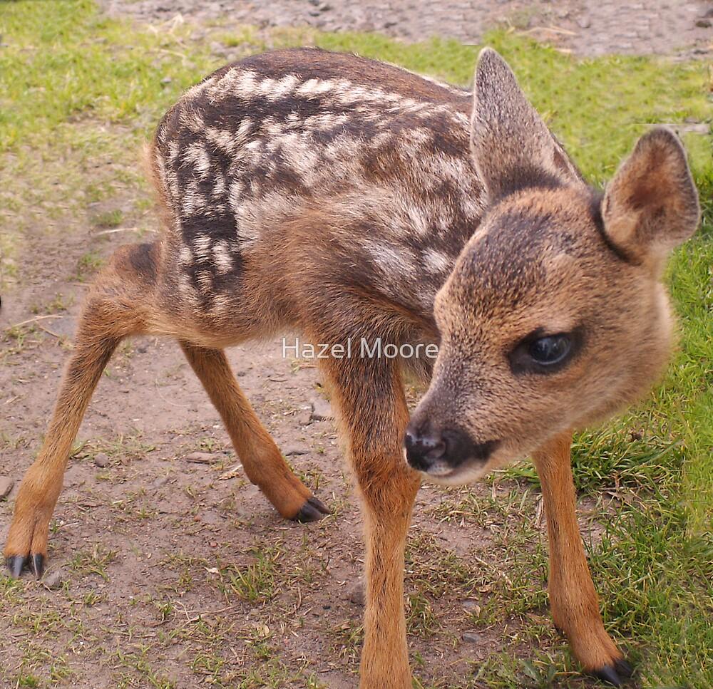 Baby Roe Deer by Hazel Moore