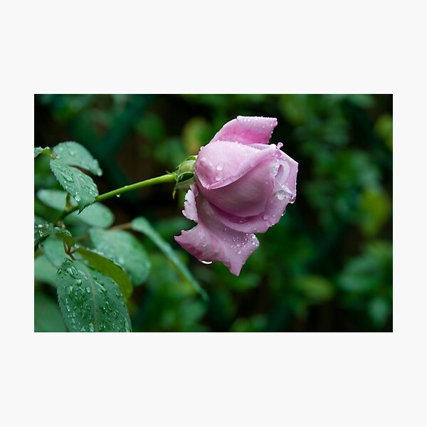 a wet lonely rose Photographic Print