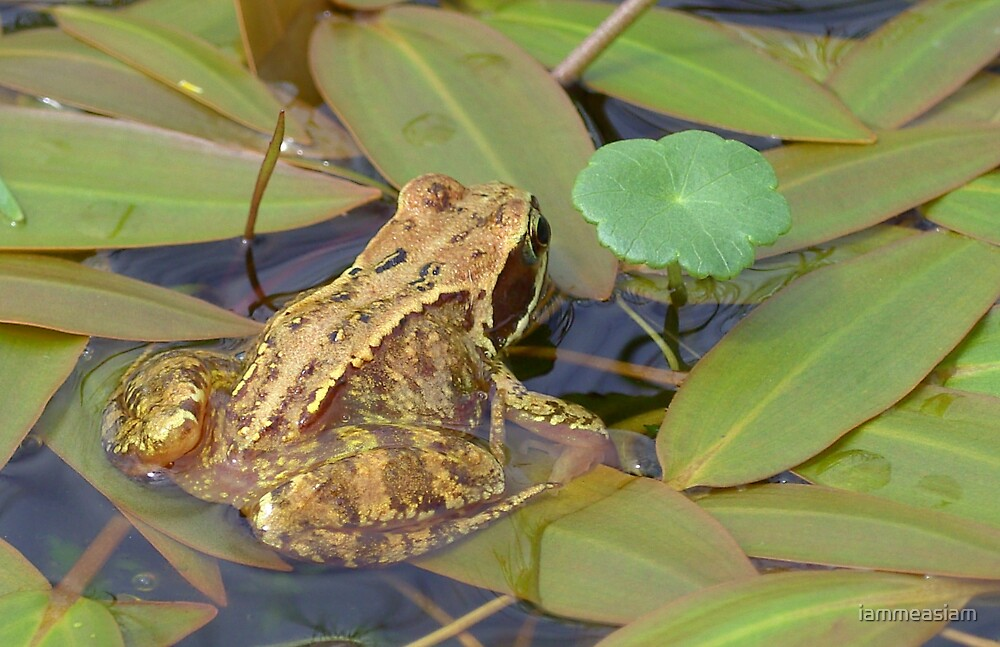 frog by iammeasiam