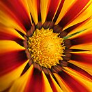 Sunburst Daisy... by John Gilluley