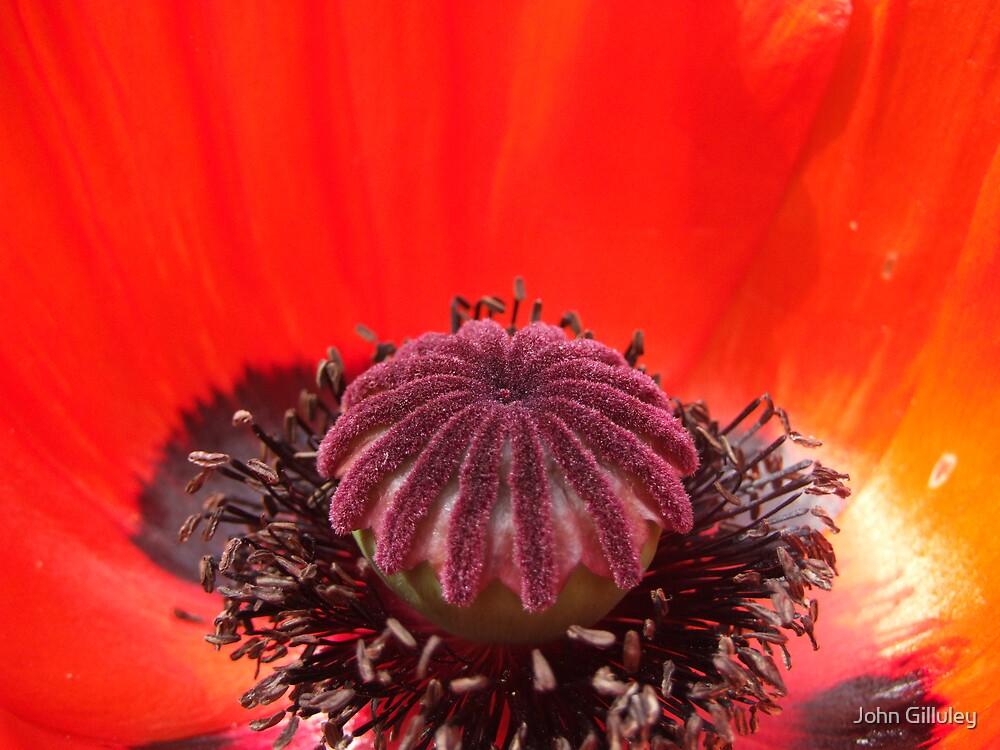 Big Poppy... by John Gilluley