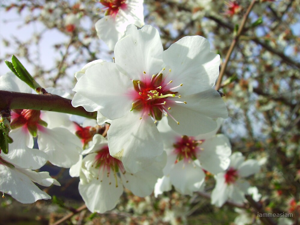 almond blossom by iammeasiam