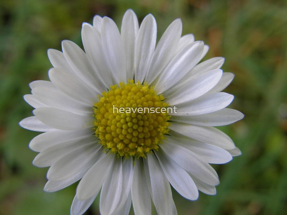 Daisy by heavenscent