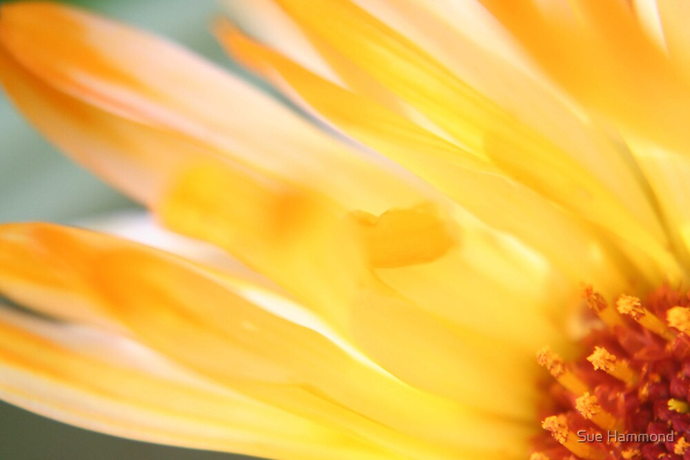Big yellow flower by Sue Hammond