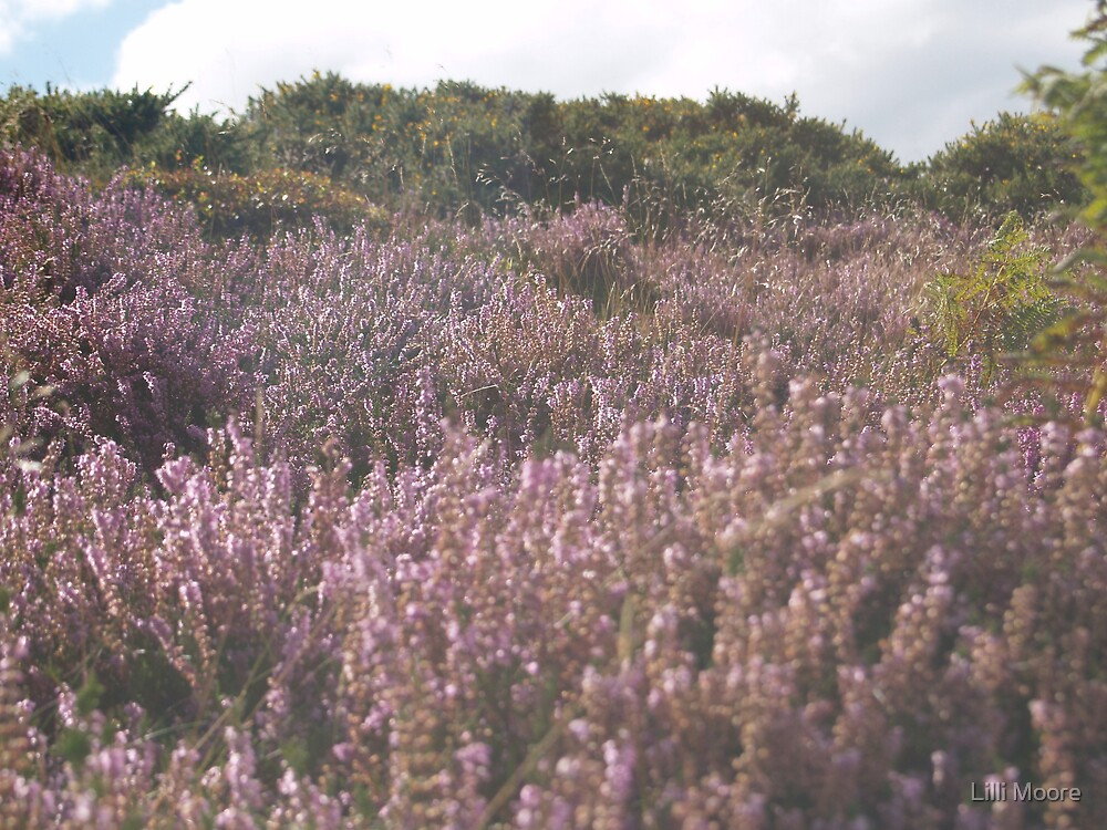 more heather on a hill by Lilli Moore