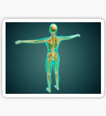 Human body showing skeletal system, arteries, veins, and nervous system. Sticker