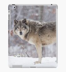 A lone Timber Wolf in the snow iPad Case/Skin