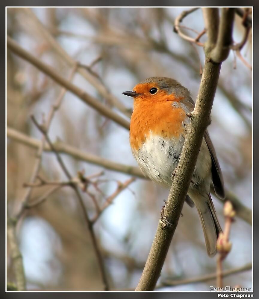 Robin by Pete Chapman