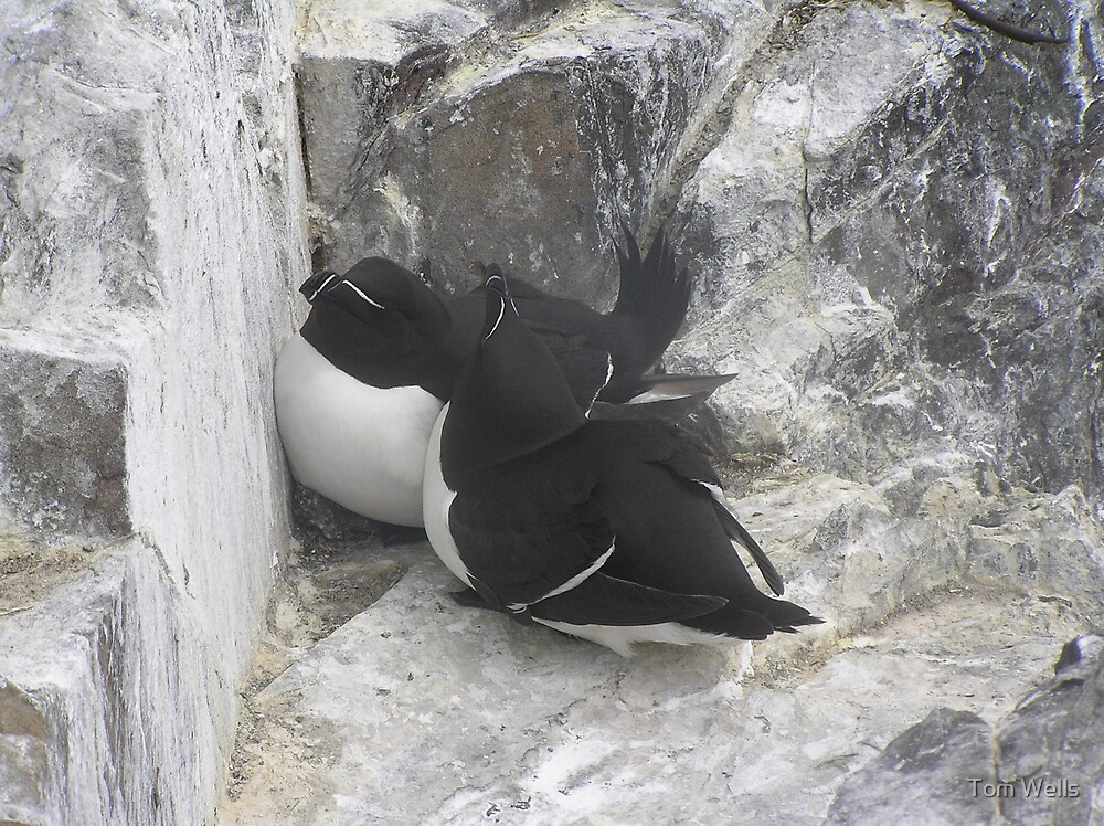 Razorbill Love by Tom Wells