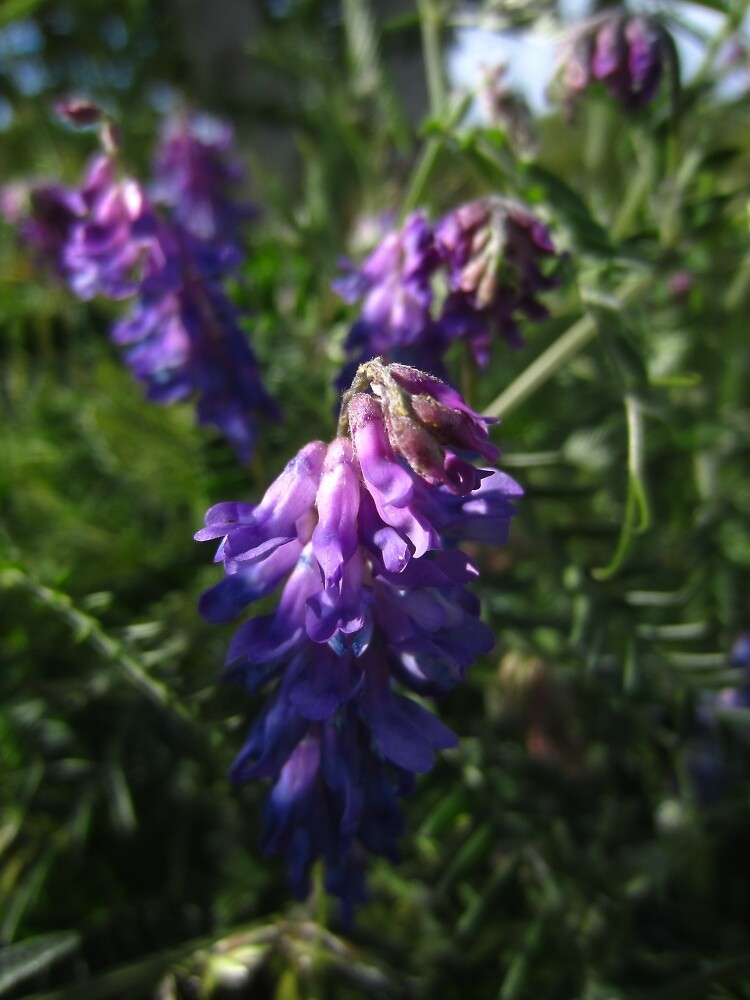 Tufted vetch by IOMWildFlowers
