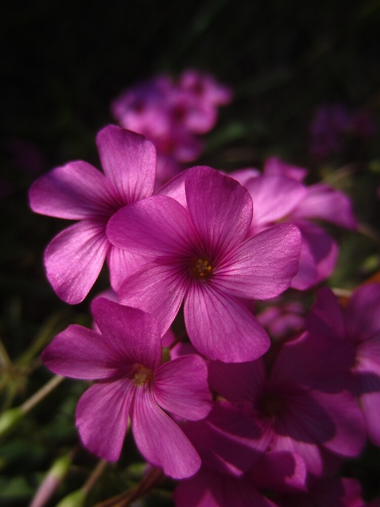 Pink-Sorrel by IOMWildFlowers