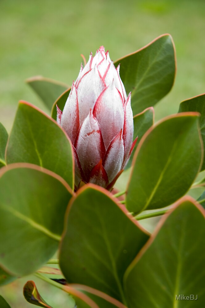 Protea by MikeBJ