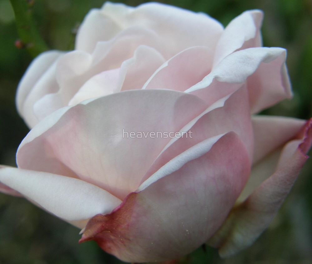 pale pink rose by heavenscent