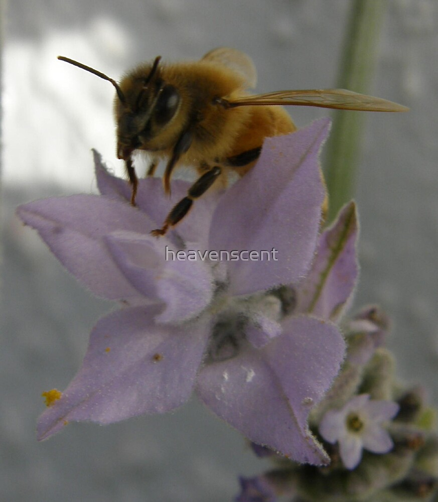 bee on lavender  in search of pollen by heavenscent