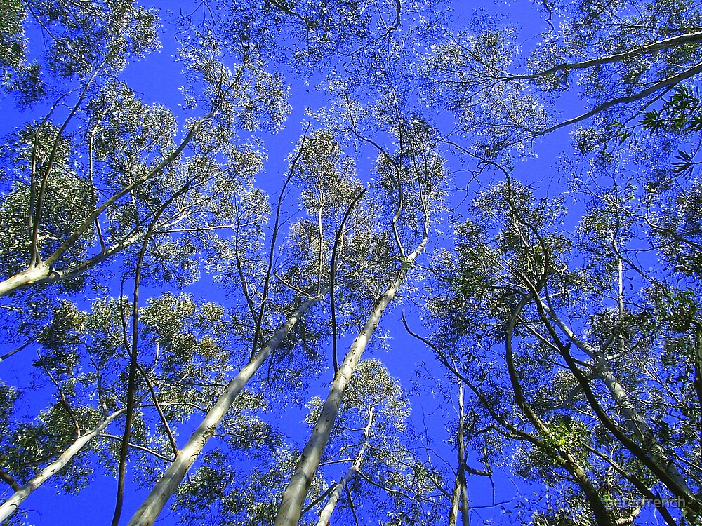 skywards trees by peterfrench