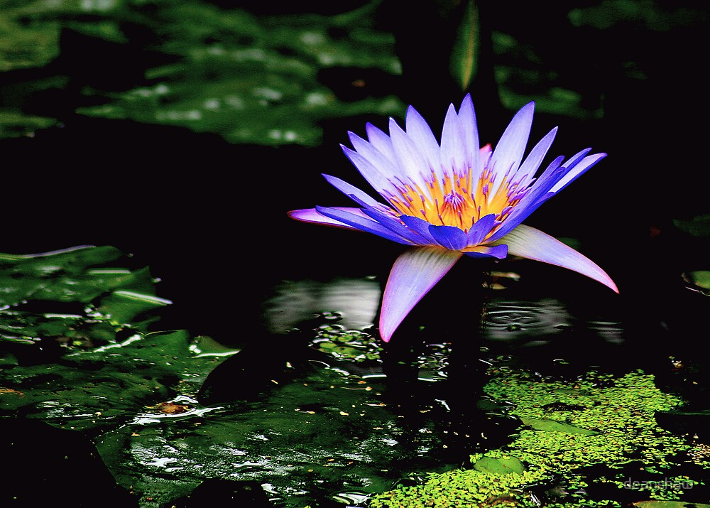 african water lilly by deanshaw