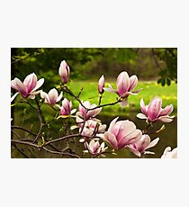 Blooming Magnolia Tree Close-up Photographic Print