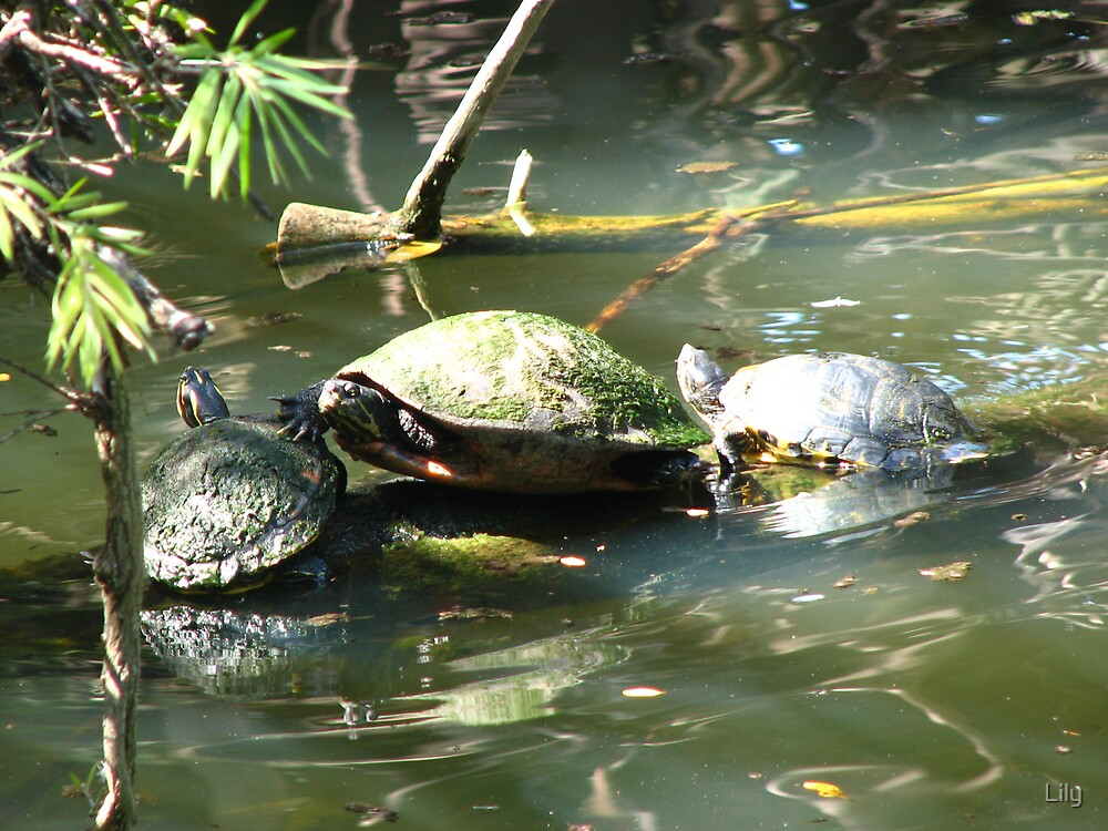 Turtles by Lily