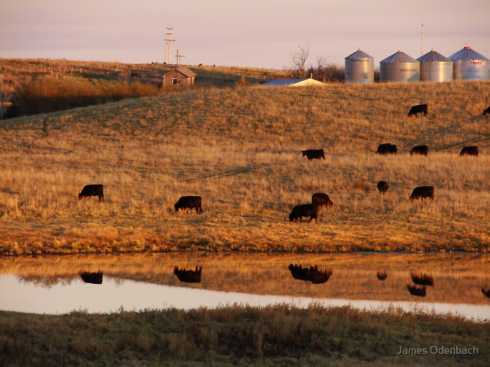 Cows reflection by James Odenbach