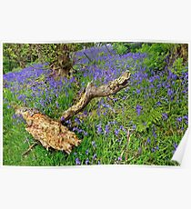 Bluebells in the wood Poster