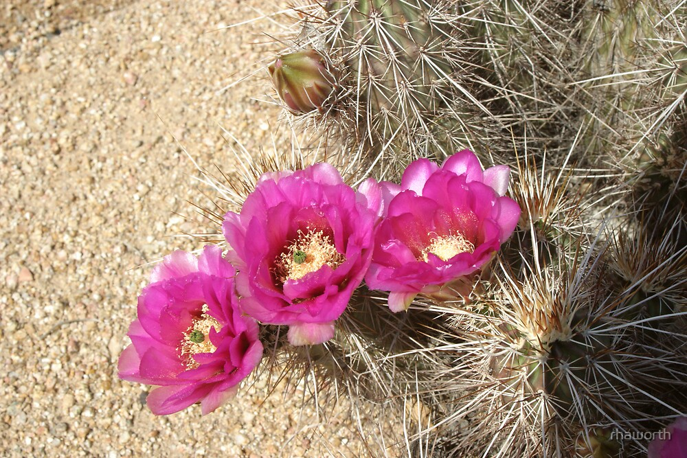 Beautiful Cactus Blooms by rhaworth