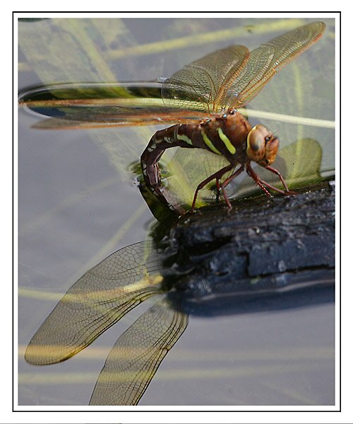Brown Chaser by tedbear