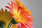 Flower on Gray by John Velocci