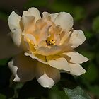 Yellow Rose by NaturesGuardian