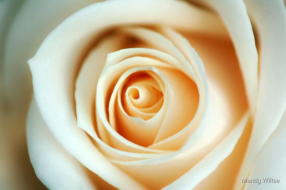 Creme Rose by Mandy Wiltse