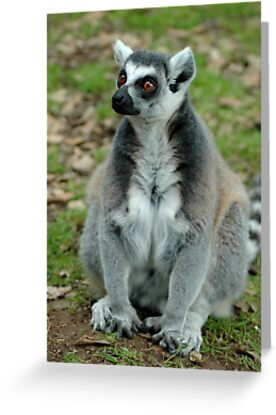 Ring-Tailed Lemur  by TANYA WILLIAMS