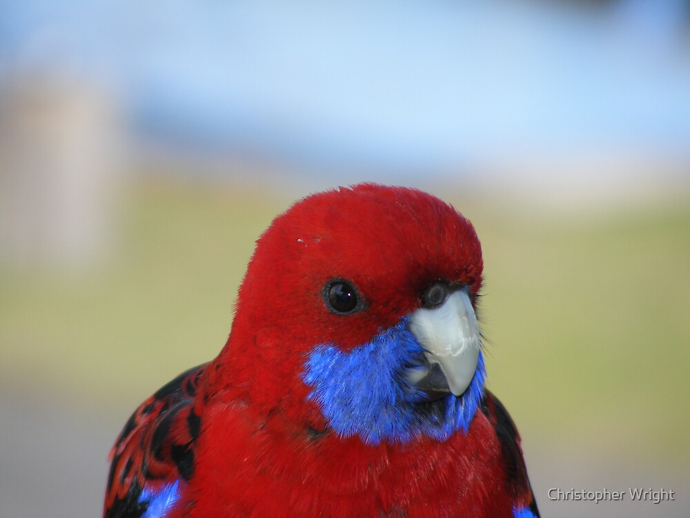 rosella by Christopher Wright