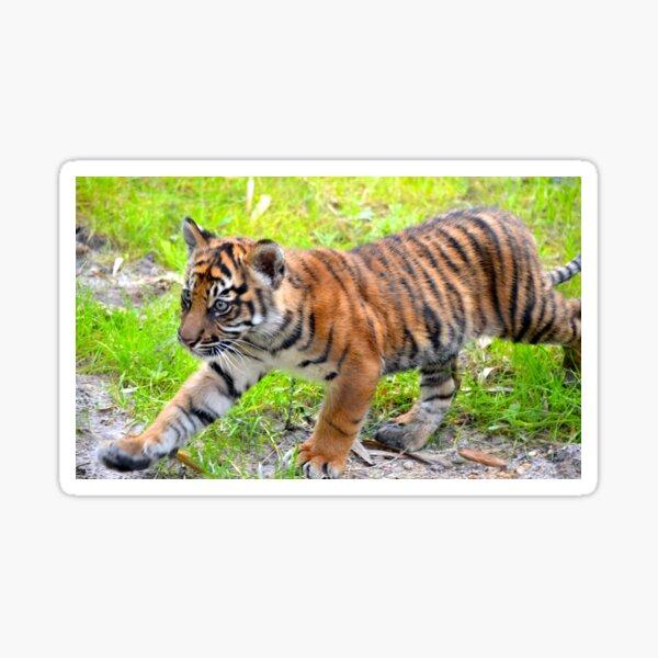Sumatran Baby Tiger On the Run Sticker