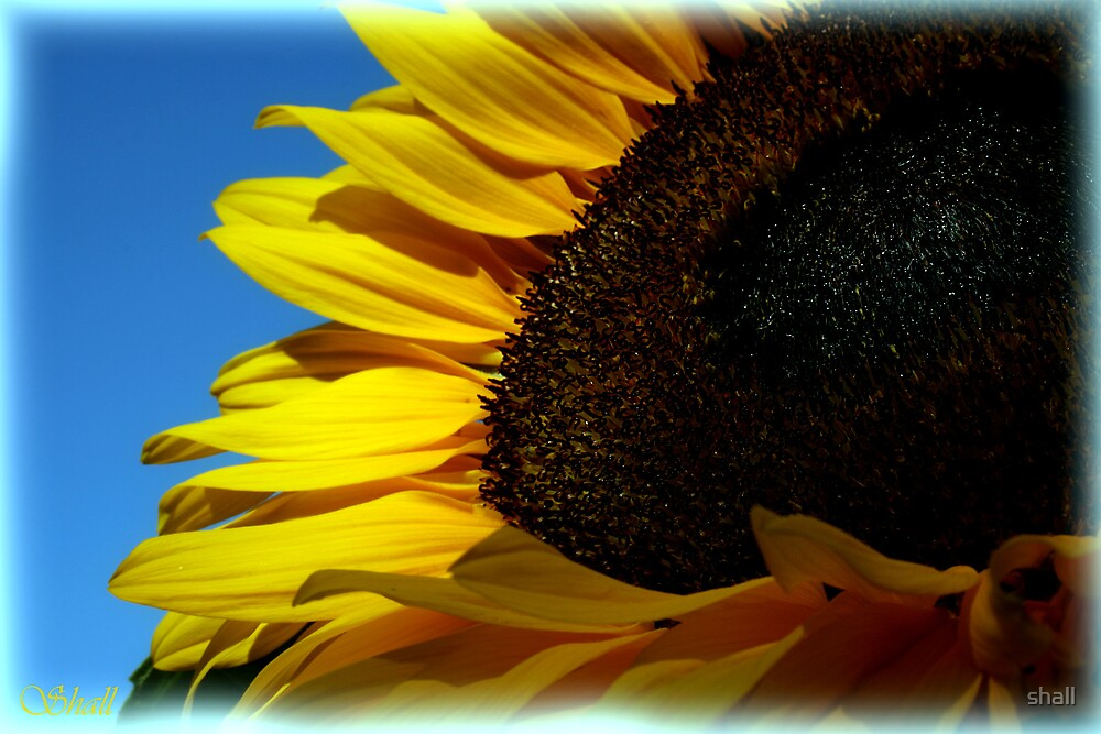 Sunny Sunflower by shall