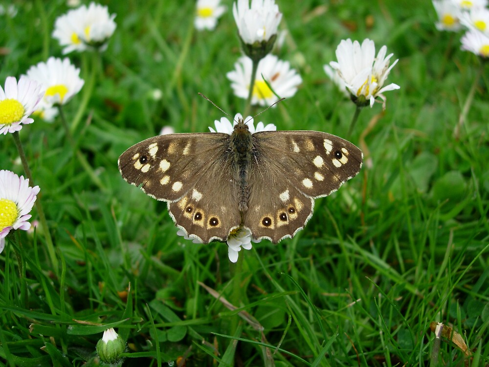 Speckled Wood Butterfly by Monster