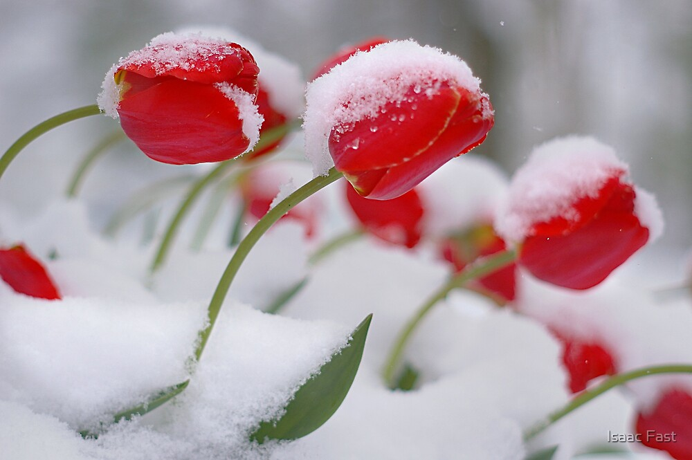 Tulips of Winter by Isaac Fast