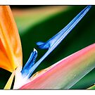 Bird of Paradise Plant by kalliope94041