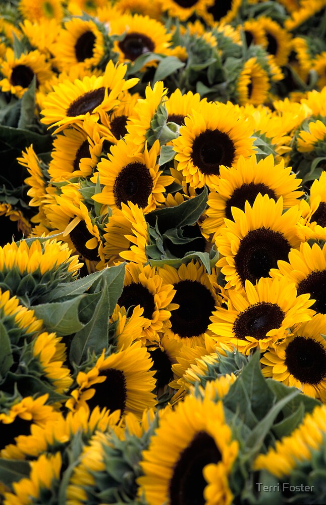 Sunflowers by Terri Foster