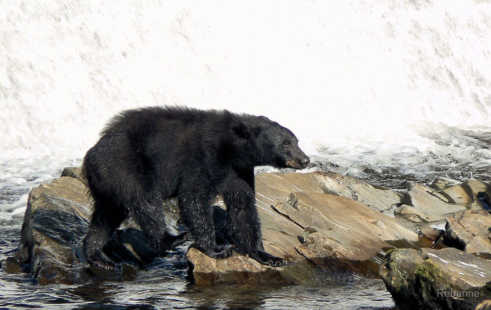 Black Bear  by Rebanne
